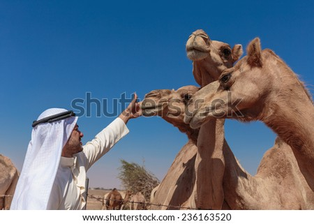 DUBAI, UAE-NOVEMBER 12, 2013: Arab men and camels on the farm - stock photo