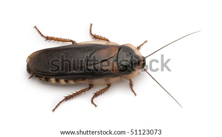 Dubia cockroach, Blaptica dubia, in front of white background - stock photo