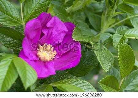 duchess of portland rose - stock photo