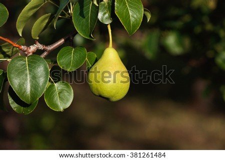 duchesse ripe pears hanging on a branch on a dark background - stock photo