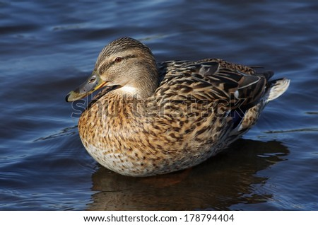 duck - stock photo