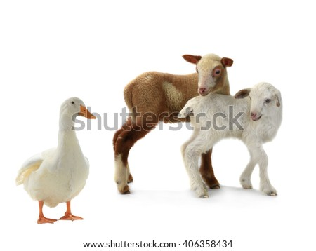 duck and sheep on a white background - stock photo