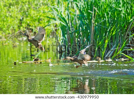 Duck. Beautiful duck flapping the wings in water. Duck with amazing wings - stock photo
