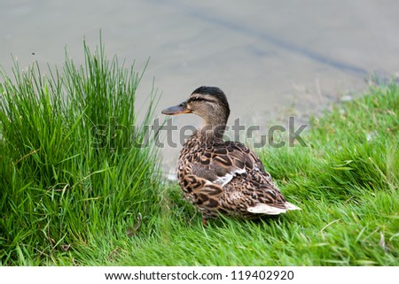 Duck by the pond - stock photo