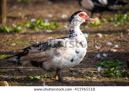 duck color beautiful - stock photo