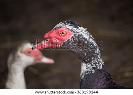 Duck face in front of his couple. Muscovy ducks. Authentic farm series.