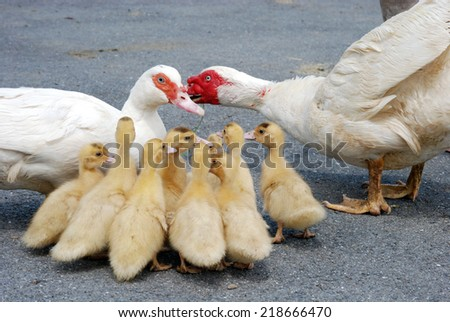 Duck family - stock photo