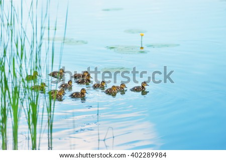 Duck family with many small ducklings swimming on the river - stock photo