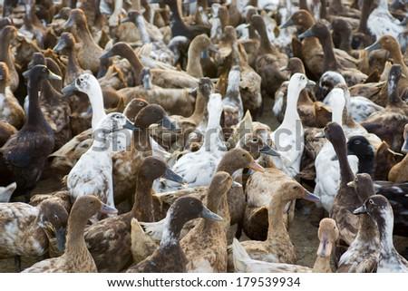 duck farm - stock photo