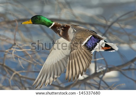 Duck flying in the trees - stock photo