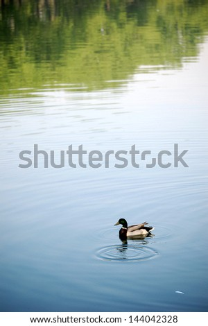 Duck in pond - stock photo
