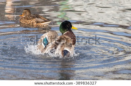 duck in the lake in nature