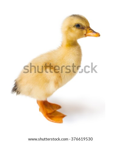 Duck is isolated on a white background - stock photo