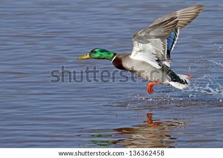 Duck - Mallard (Male) - stock photo