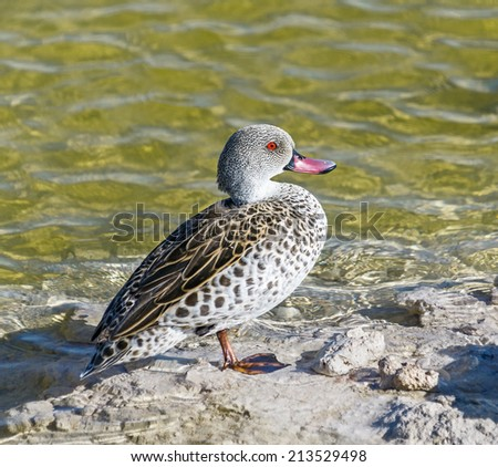 Duck near the waterpole in Etosha National Park - Namibia, South-West Africa - stock photo