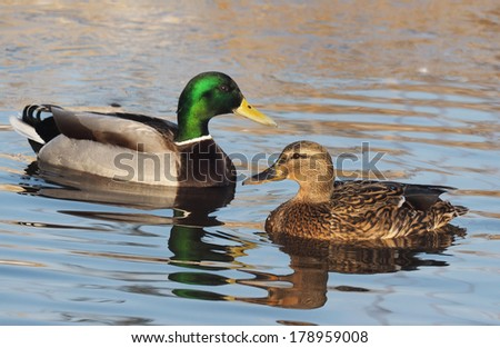 duck on the lake - stock photo