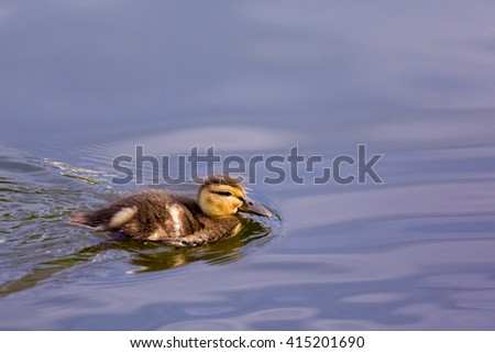 duck on the pond floats on a Sunny day in summer. - stock photo