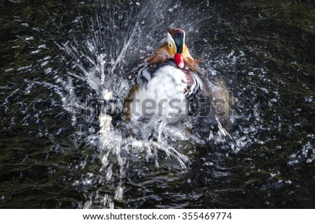 duck on the pond to rinse and clean the feathers