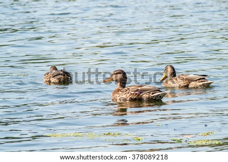 duck on the water in the green - stock photo