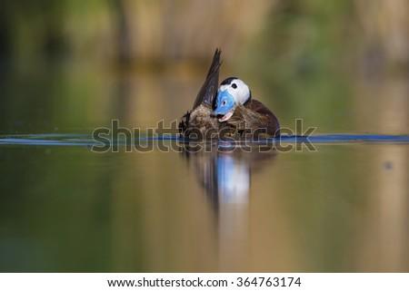 duck, quack quack White headed Duck / Oxyura leucocephala - stock photo