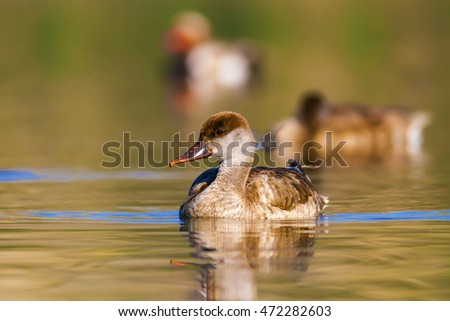 duck Red crested Pochard