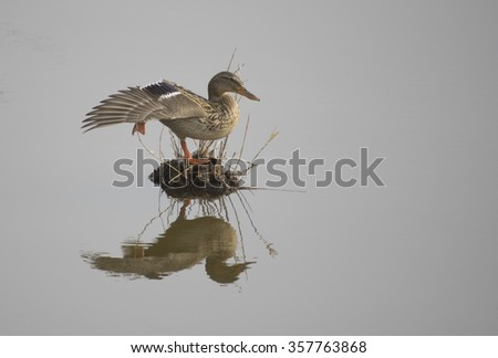 Duck reflected in water - stock photo