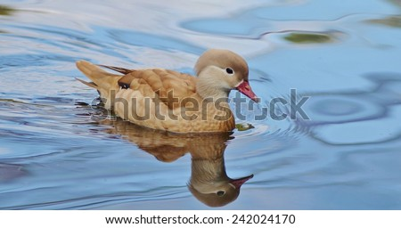 Duck Swimming, Bird, Duck, Bird on Water, Blue, Blue Water, Female Mandarin Duck - stock photo