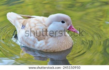 Duck Swimming, Bird, Duck, Bird on Water, Green Water, Female Mandarin Duck - stock photo