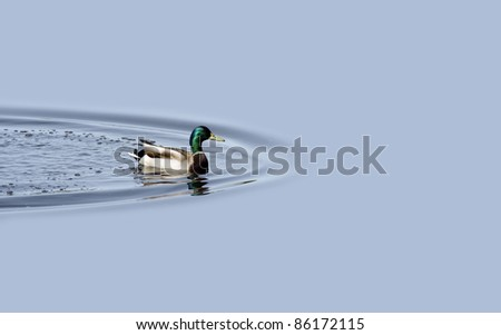 Duck swimming in the blue lake - stock photo