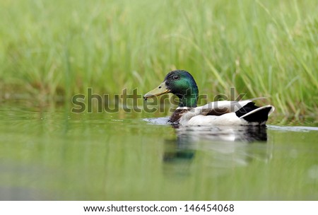 Duck swimming in the pond