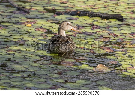 duck swims in the pond among the lilies - stock photo