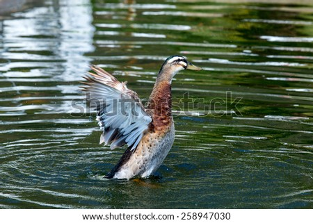 Duck waving wings on the pond. The water in the reflection of colorful green trees. - stock photo
