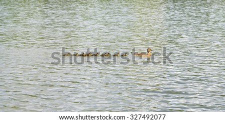 Duck with brood of ducklings swim on pond