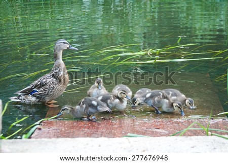 Duck with ducklings - stock photo