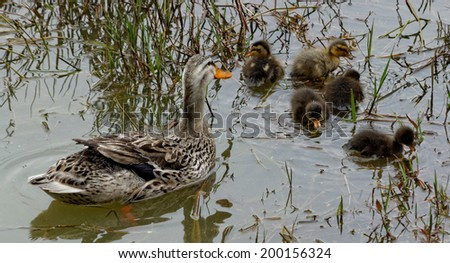 Duck with ducklings in green lake in Furnas from the island of Azores in Portugal - stock photo