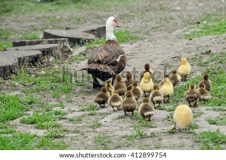Duck with young ducklings go in the yard - stock photo