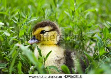 Duckling of a musky duck, Indo-duck on walk in a grass. Three-day duckling walk on a lawn.