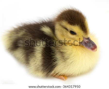 duckling on a white background - stock photo