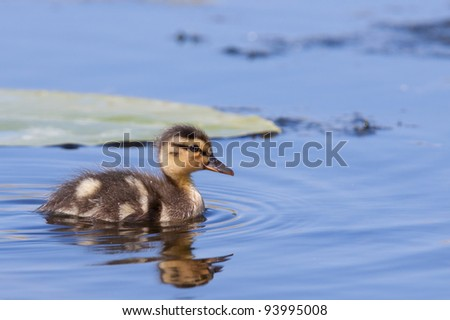 Duckling swimming in water - stock photo