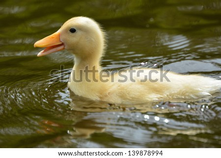 duckling swimming in water on a sunny day - stock photo