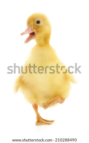 duckling who are represented on a white background - stock photo