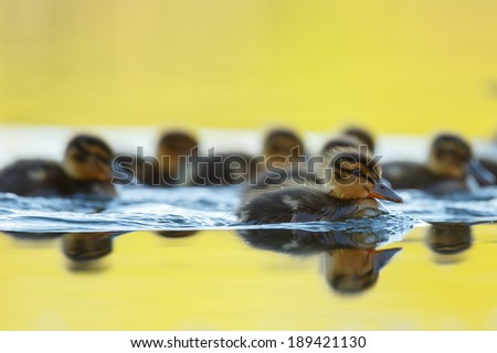 Ducklings - stock photo