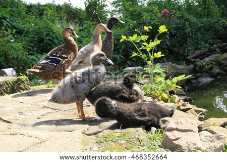 ducklings are resting on the bank of a pond, indian runner breed duck