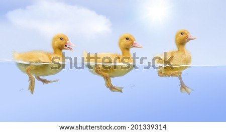 Ducklings floating and swimming in a raw (7 days old)