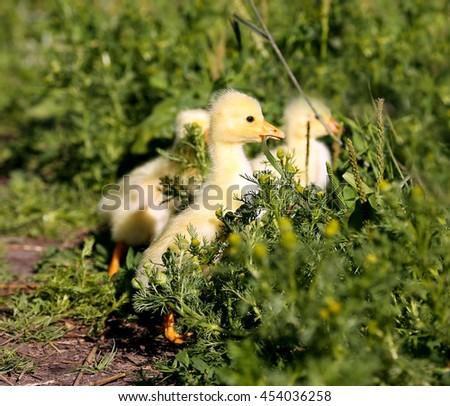 Ducklings graze in the green grass - stock photo