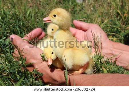ducklings in hands on background of green grass