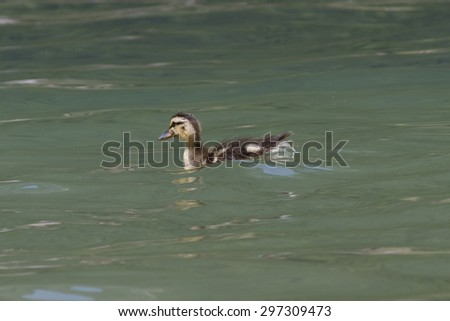 ducklings on lake