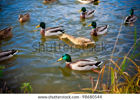 Ducks and a drake swim on water in a pond. - stock photo