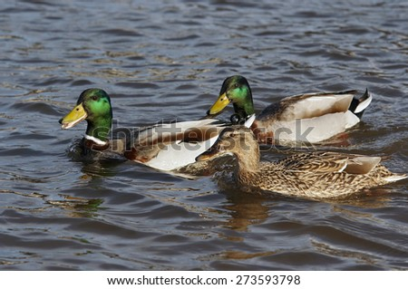 ducks floating on the water - courtship - stock photo