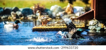 Ducks in a pond - stock photo